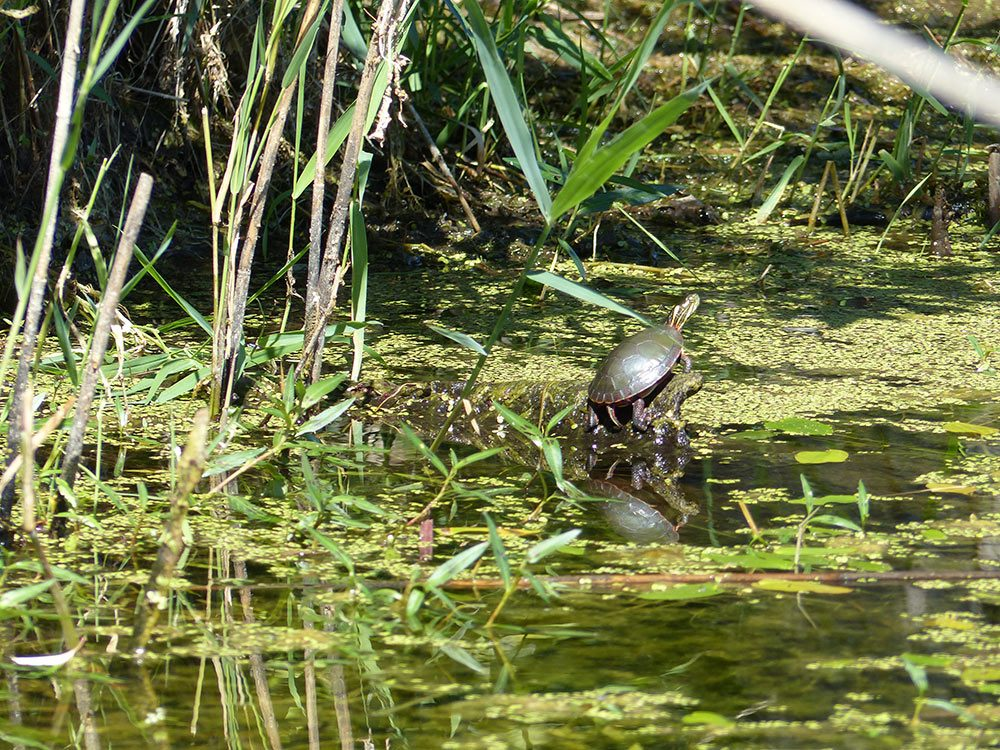 Painted turtle sunning itself at the Delaware wetland.