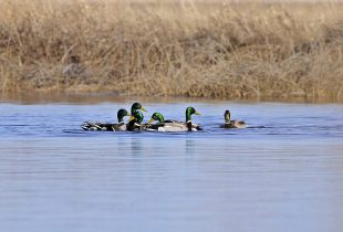 Ducks return to Carp River wetlands