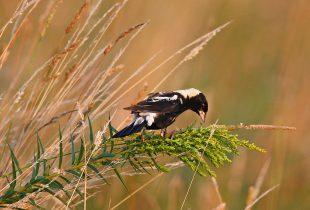A grassland haven for the bobolink