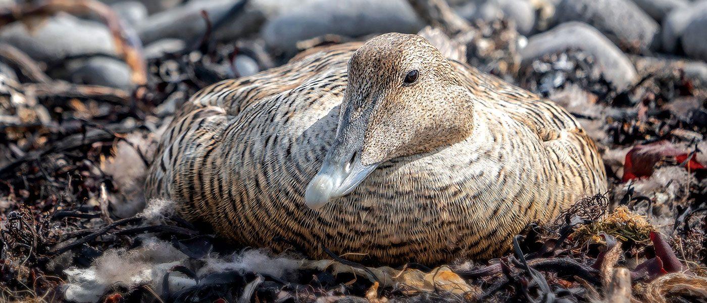 Hen duck