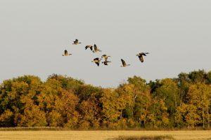 Migrating Canada goose flock.
