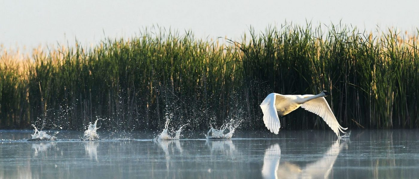 A trumpeter swan takes flight.