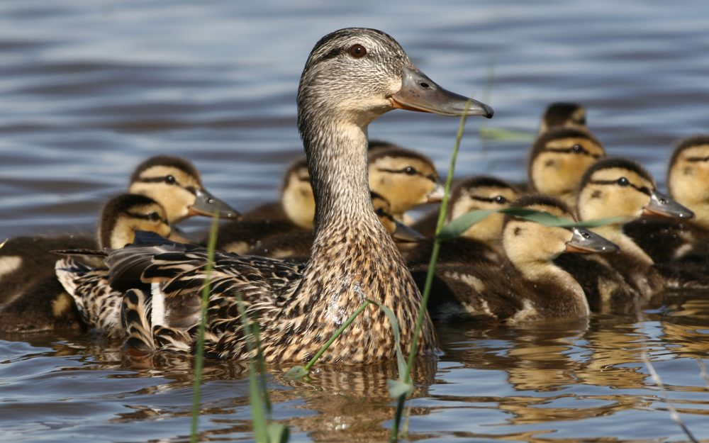 A brood of mallards on a seasonal pond.