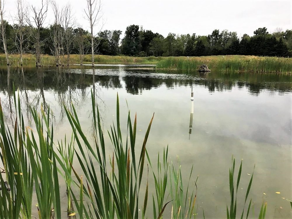 New research digs into the role of small, restored wetlands in capturing nutrients from surface water runoff.