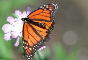 Dragonflies and monarchs: a two-generation migration