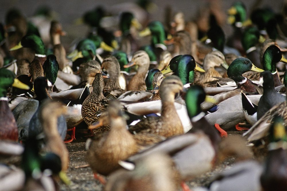 Mallard populations are estimated at 9.4 million, similar to 2018 and 19 per cent above the long-term average.