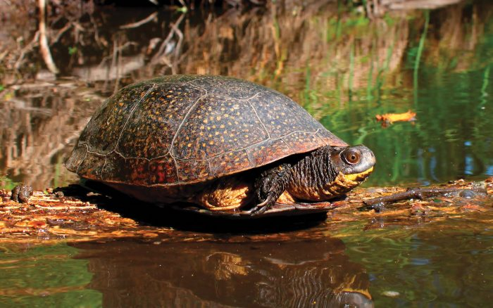 Species at risk, like the Blanding's turtle, are among the wildlife found here.