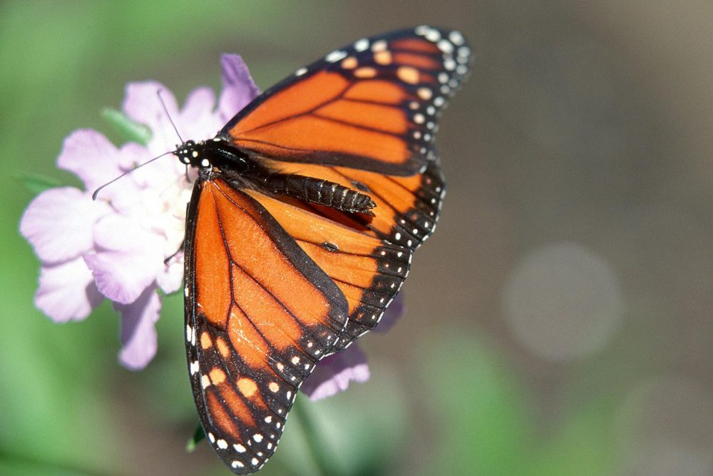 Monarch butterfly, a valuable grassland pollinator