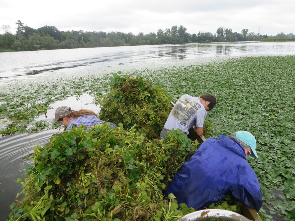 Volunteers fill a canoe with hand-pulled European water chestnut plants.