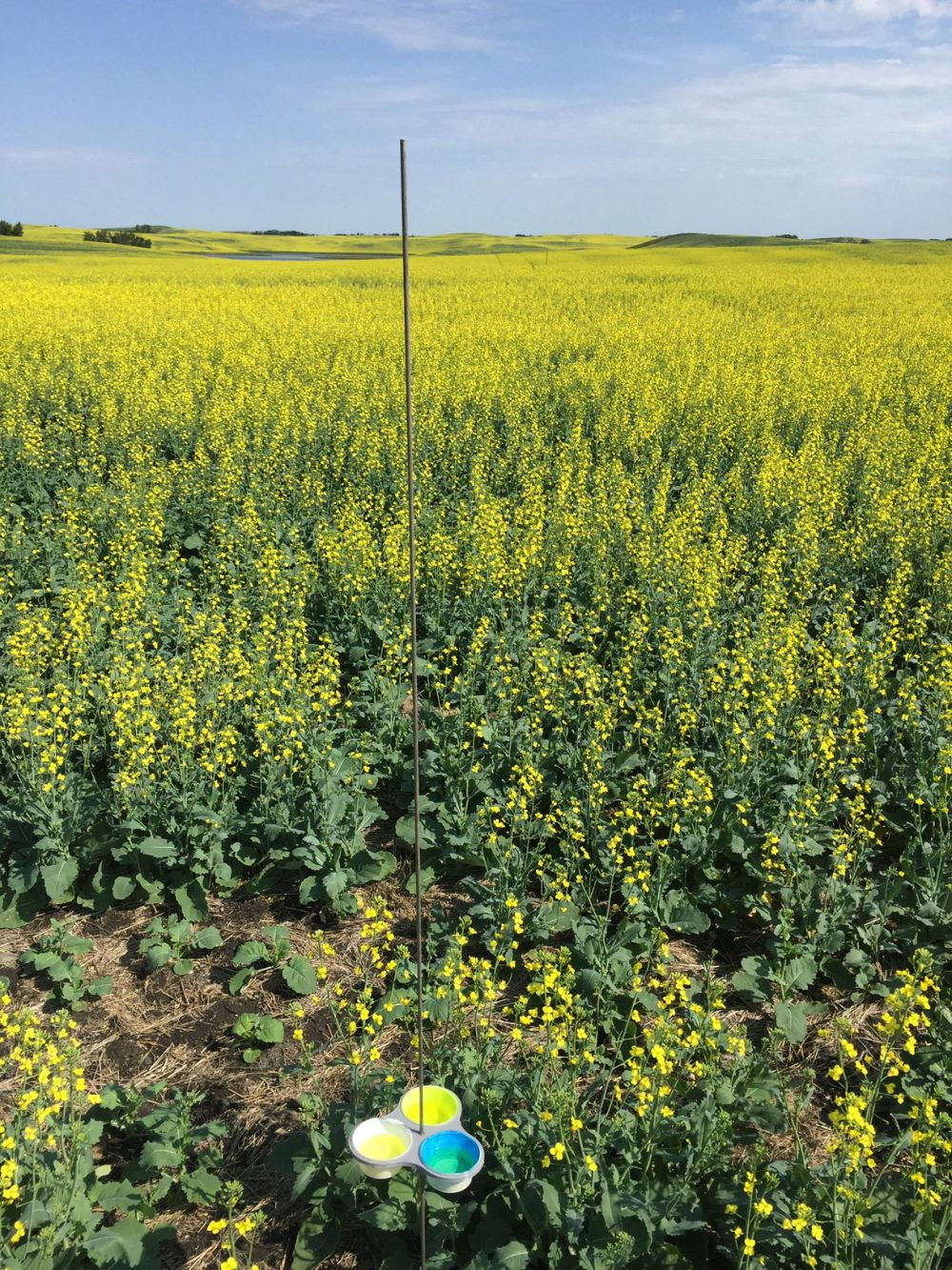 DUC research scientist Jim Devries installed this bee trap at the edge of wetland inside a canola field.