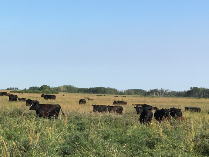 Keown's cattle on grazing land.
