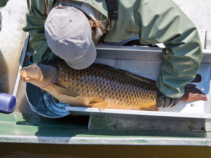 A DUC research technician measures and records a common carp at Delta Marsh.