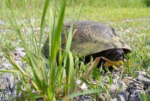 Shell shock: Ontario's turtle emergency