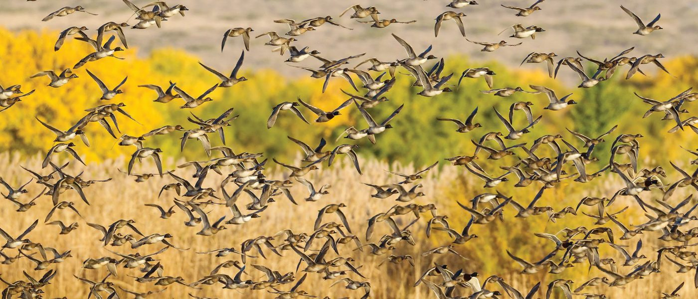 Flock of northern pintail and other ducks.