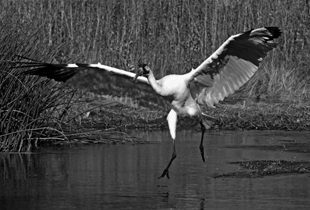 Where did the whooping cranes go?