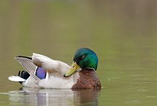 DUCKS UNLIMITED CANADA: VIGILANT CONSERVATION A MUST TO KEEP WATERFOWL POPULATIONS THRIVING