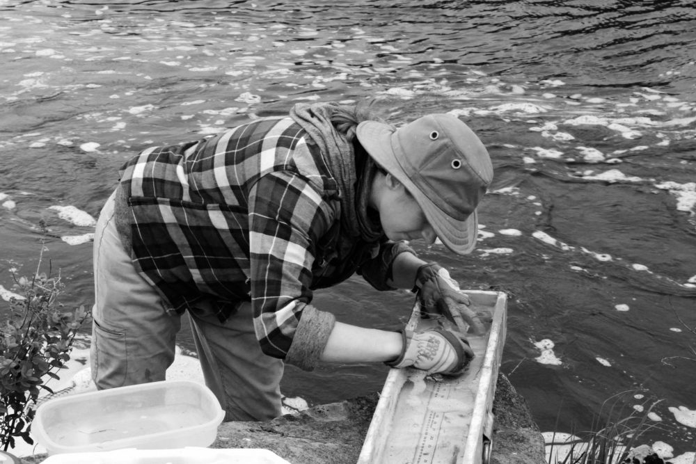 A student researcher measures and tags an alewife before it swims up the fish ladder at Missaquash Marsh.