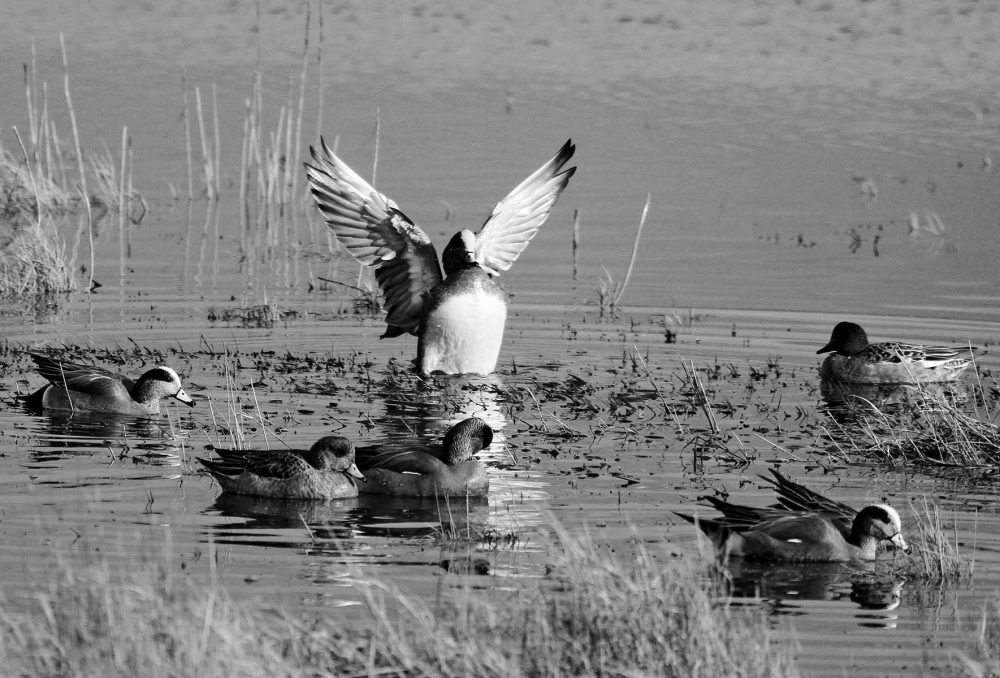 A flock of wigeons