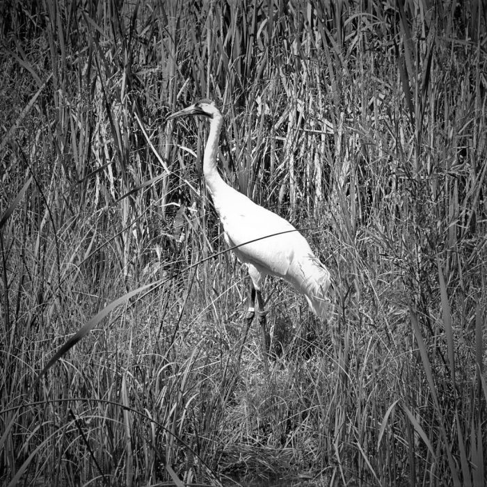 The whooping crane, which breeds in Wood Buffalo National Park, has begun to rebound from the brink of extinction, but its survival is still dependent on habitat availability.