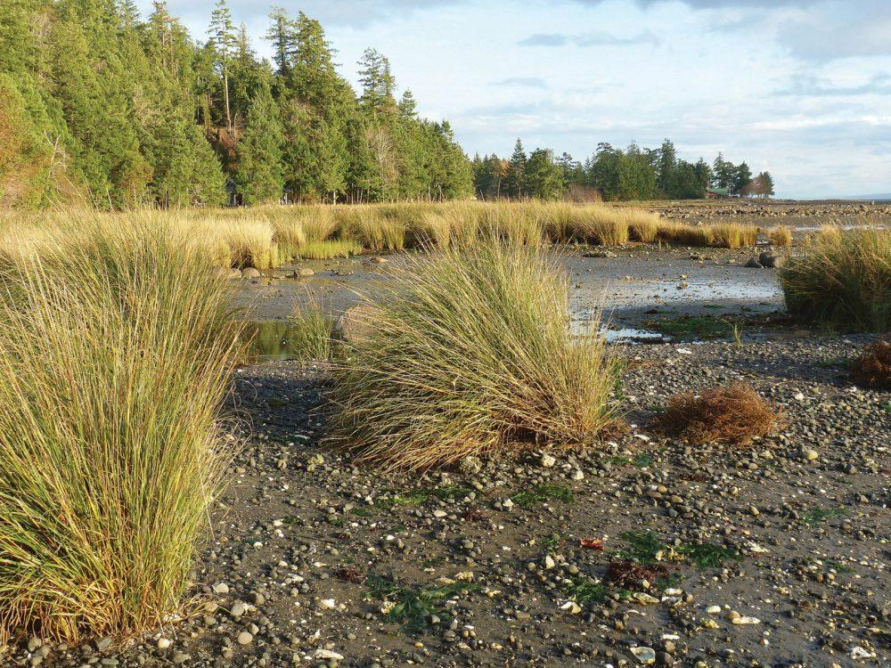 Invasive Spartina along the B.C. Pacific coast.