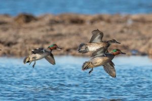 Ducks are one of hundreds of species aided by the North American Wetlands Conservation Act