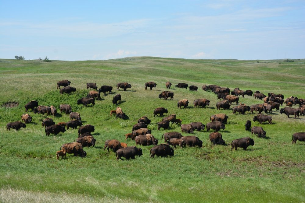 Bison roaming at the Shell Buffalo Hills Conservation Ranch.