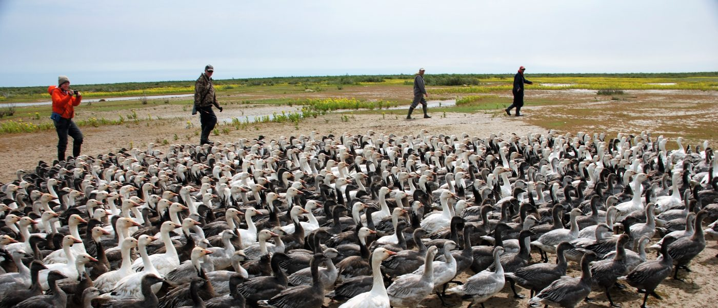 """The flightless geese are """"herded"""" into the net area to be measured and banded."""