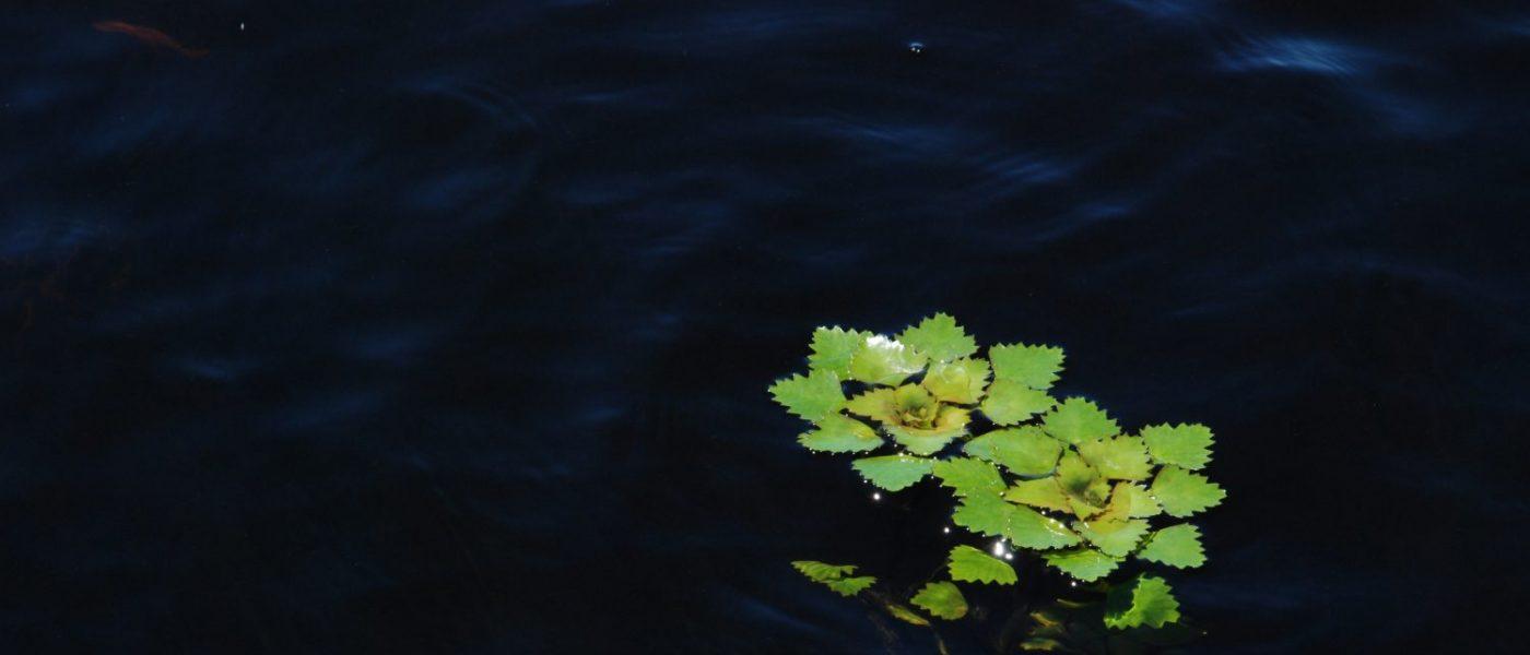 European water chestnut.