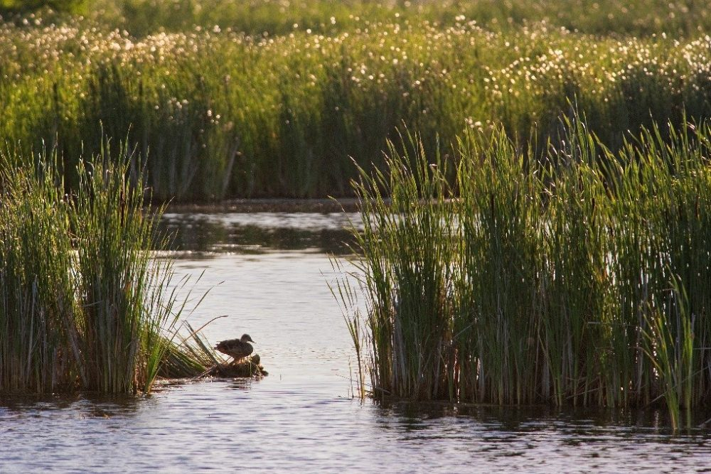 Climate-adjusted wetland inputs will be part of the modelling scenarios and used to revise the distribution models for the seven most common waterfowl species in prairie Canada: mallard, blue-winged teal, northern shoveler, gadwall, northern pintail, redhead and canvasback.
