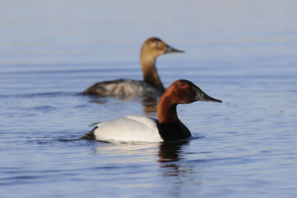 According to the 2018 Trends in Duck Breeding Populations report, canvasback numbers remain strong and are 16 per cent above the long-term average.