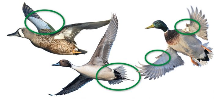 Left to right: Wing coverts, tail feathers, and winglets.