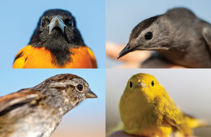Sporting the vibrant patterns and colours of spring breeding plumage, birds captured during May and June are dressed to impress. Four of the 60 species caught and banded in 2019 include (clockwise from top left) Baltimore oriole, grey catbird, yellow warbler and swamp sparrow.