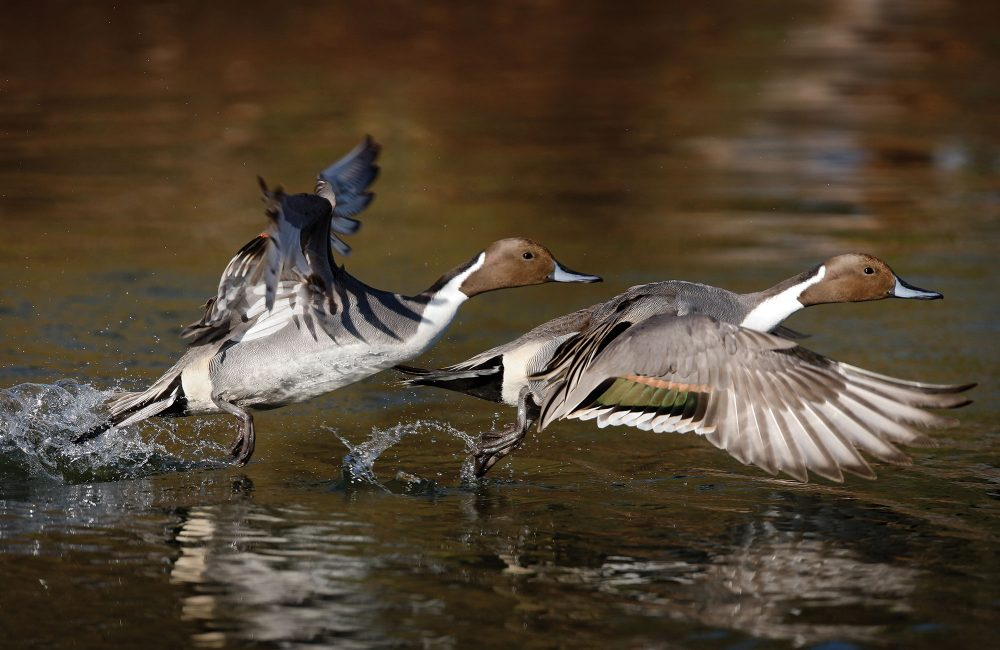 A double-exposure image of a pintail drake launching into flight from the pond. Ducks flap their wings fast—about 10 times per second—to keep their relatively large bodies airborne.