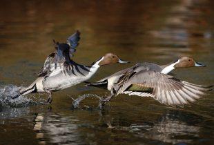 How Duck Flight Works