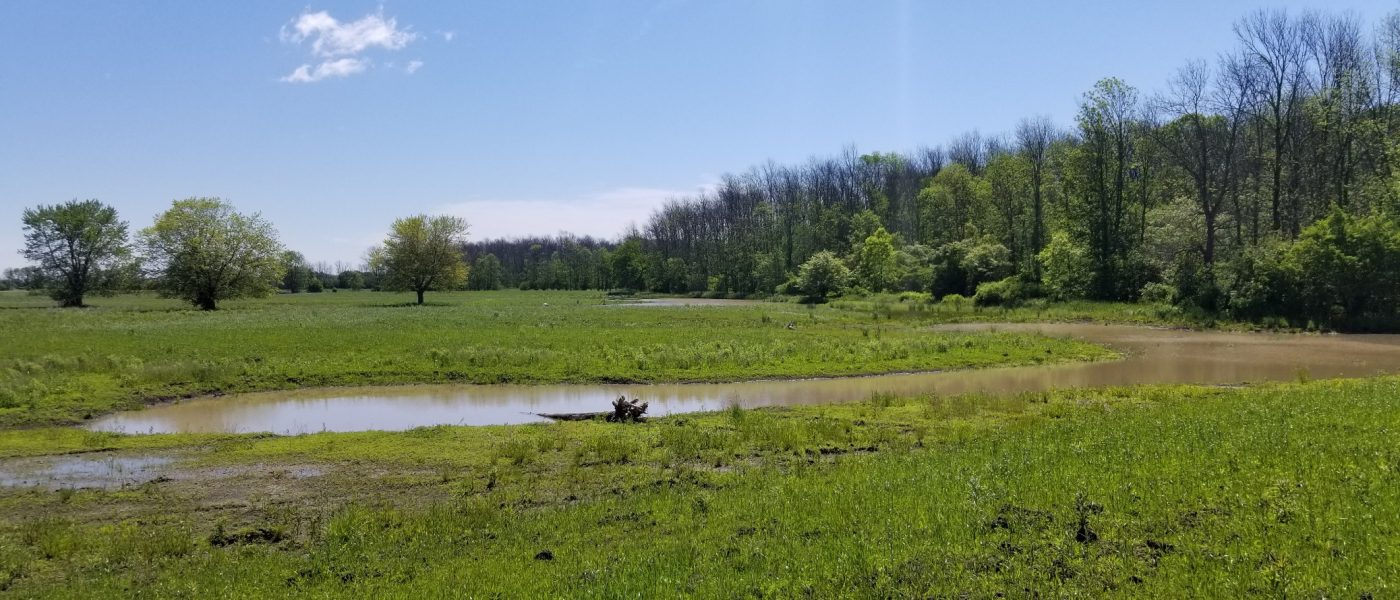 The new wetland habitat looks idyllic on a late spring day.