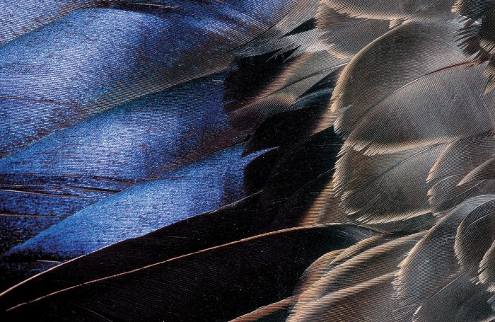 The deep indigo speculum of an American black duck lends a flash of colour to an otherwise muted, mottled bird. The speculum forms part of a duck's secondary wing feathers, providing lift during flight.