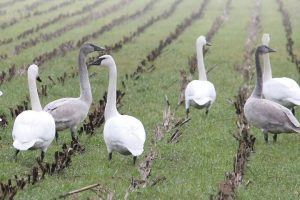 Trumpeter swans in Comox Valley, BC