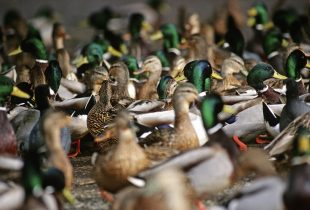 Duck populations down slightly but remain above long-term average