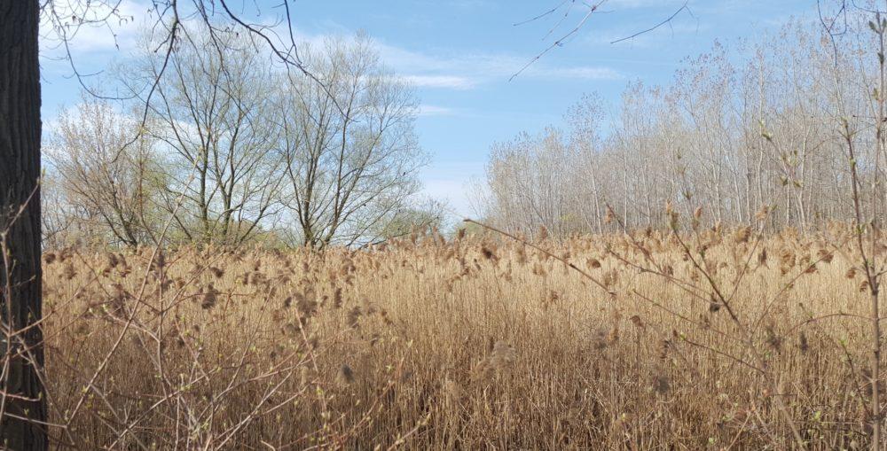 Buchanan Marsh prior to habitat restoration.