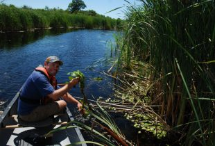 DUC's European Water Chestnut Eradication Program in Ontario
