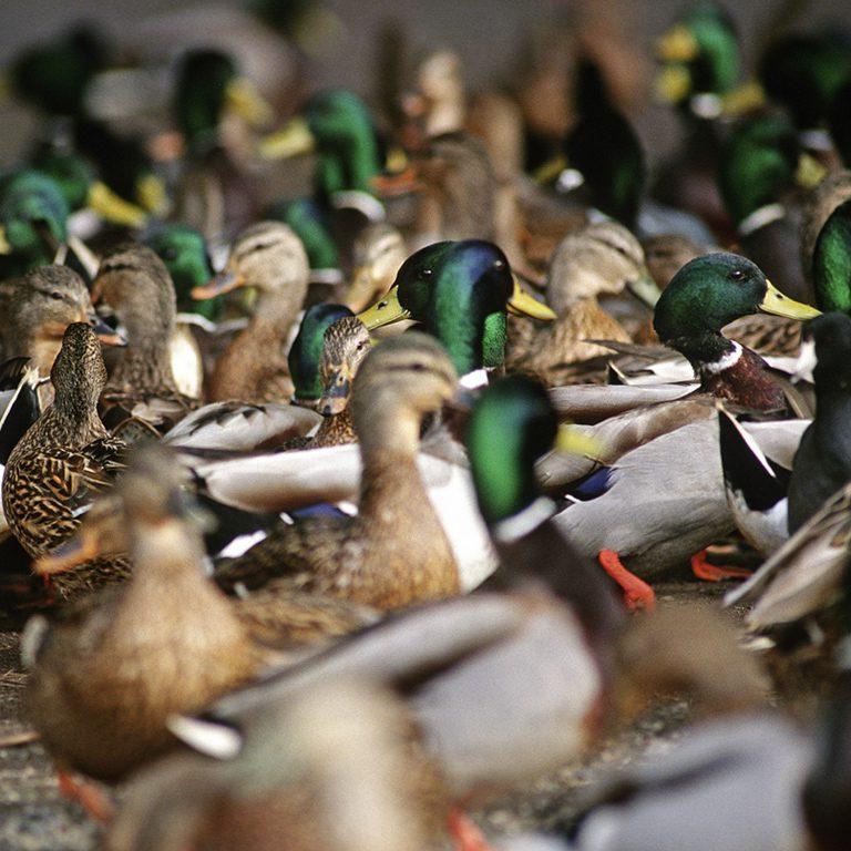 Flock of Mallards