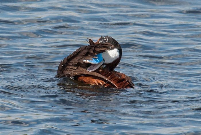 """""""I love ruddy ducks,"""" says Leigh. """"I have started to see the first few of them coming back this spring, and I look for them every year."""""""