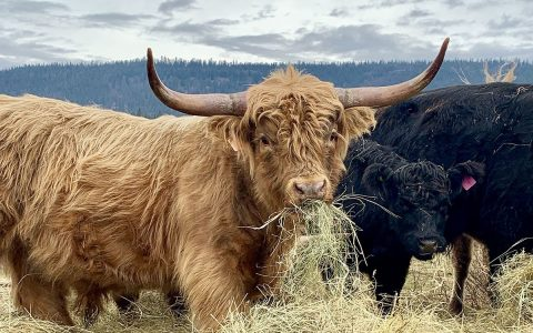 Where cattle and ducks find a home on the range