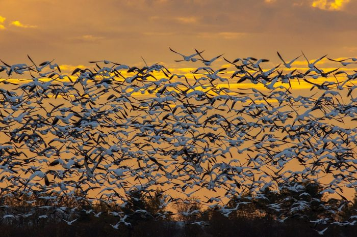 """When the snow geese rise off the fields, it is like a solid wall of birds,"" says Leigh. ""I have been to a lot of places, and I tell everybody: you may think that you have pretty sunsets and sunrises, but I will match the ones that we have in the prairies against anyone's in the world."""