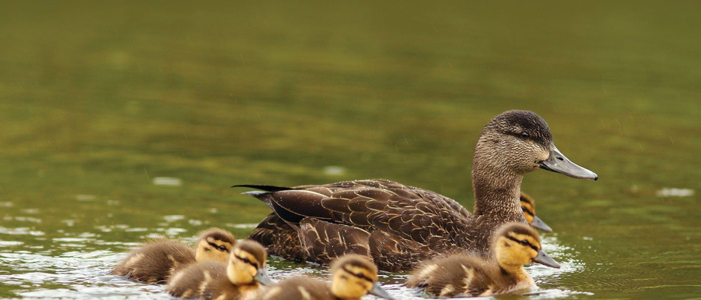 Hen with brood