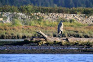 Great blue heron in B.C.