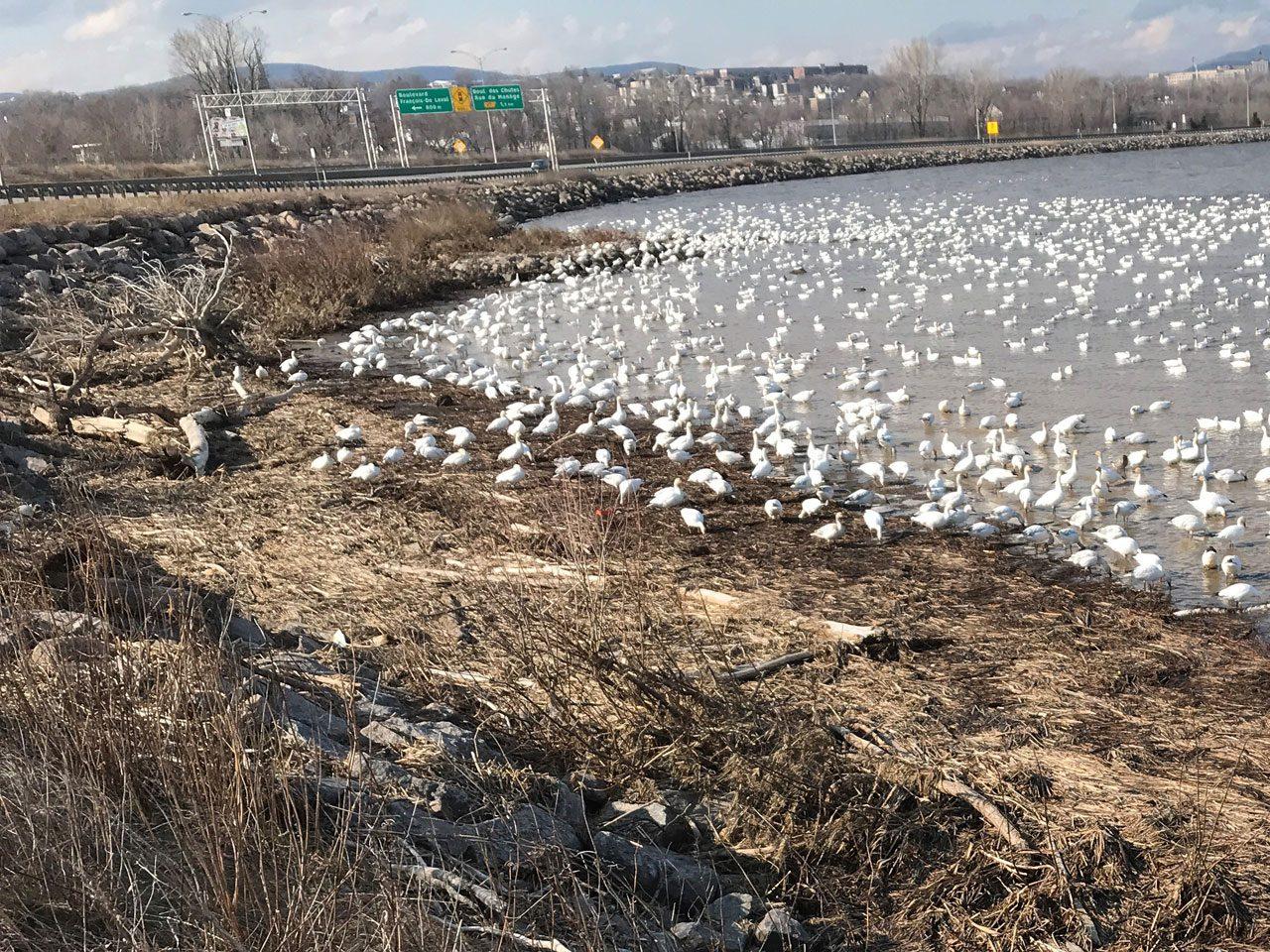 Waterfowl Habitat in Quebec, spring 2020