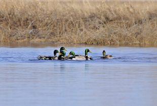 Ducks return to Carp River wetlands