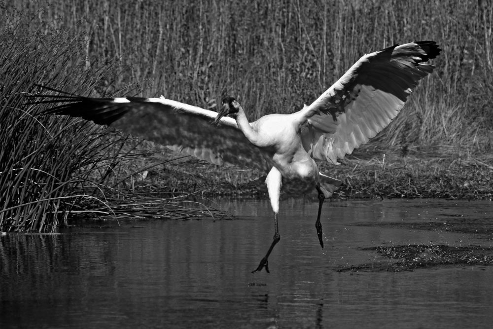 A whooping crane shows off its impressive 2-meter wingspan