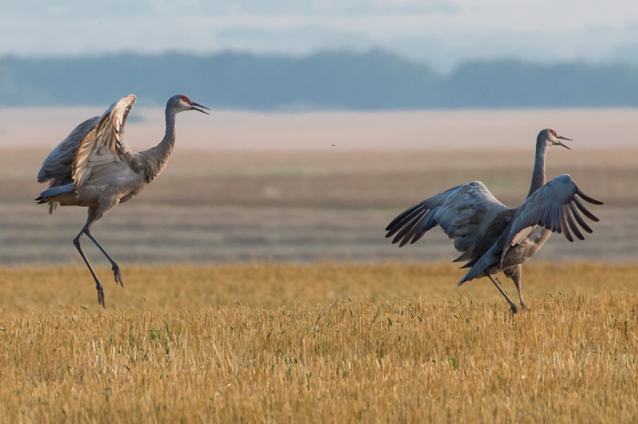 """There are places I go in the fall to see the cranes. They come up off the river in the morning and feed on the fields. I could watch cranes dance for hours on end."""
